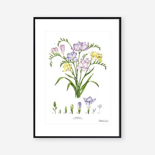 Freesia - Art Print