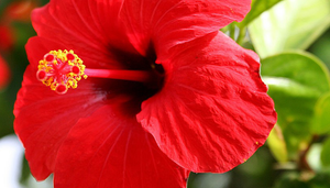 The Many Nutritional Benefits of the Hibiscus Flower
