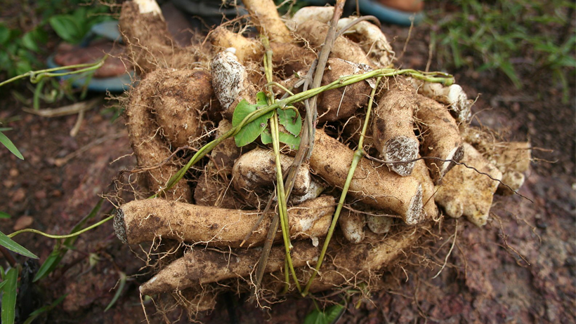 Chinese Yam, a Staple in Traditional Chinese Medicine
