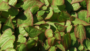 Epimedium, More than just an Aphrodisiac