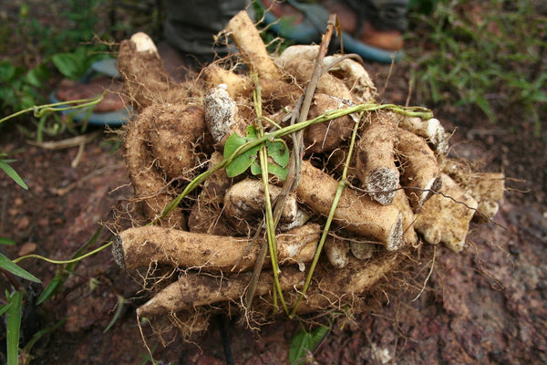 chinese yam laying in dirt.
