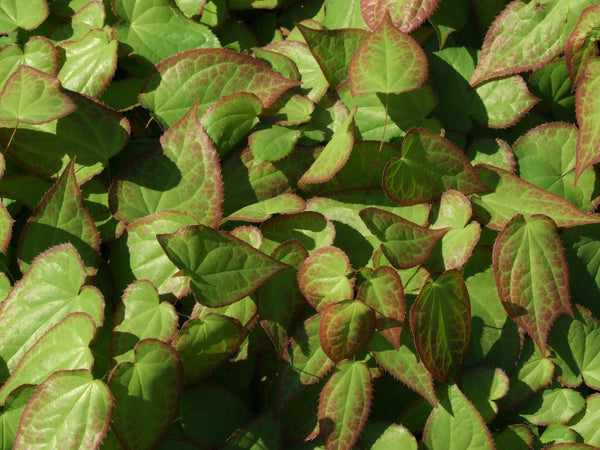 green Epimedium leaves in sunlight
