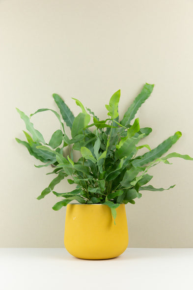 Phlebodium Aureum - Blue Star Fern