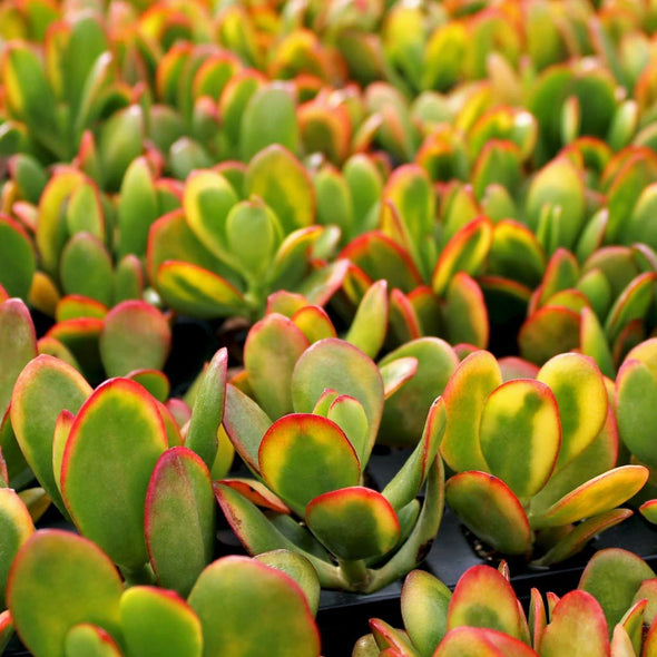 Crassula Ovata Sunset