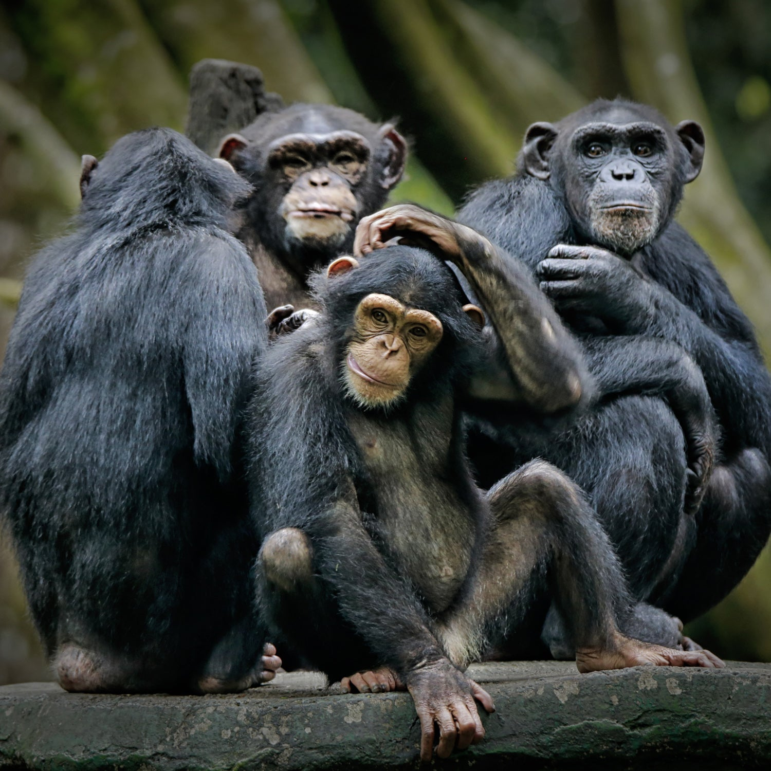 What Is The Chimp Paradox?