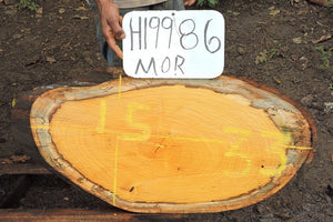 Old Fustic / Mora Live Edge Wood Round Slab