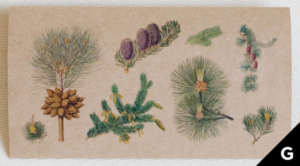 greeting card features illustrations of details of different pine trees (full color print on kraft paper)