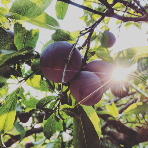 organic santa rosa plums hanging on the tree with a ray of sunlight peaking through. These will be made into jam and shrub and fruit snacks.