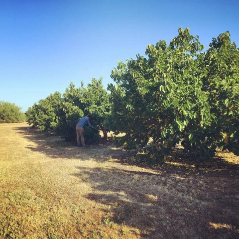 The mulberries to make our black mulberry jam are grown in Dunnigan, California. They are handpicked because they all ripen at different times. We had the opportunity to go and pick these ourselves, and boy are they delicious this fresh!