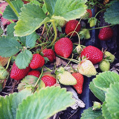 These are the organically grown albion strawberries ripening on the vine.