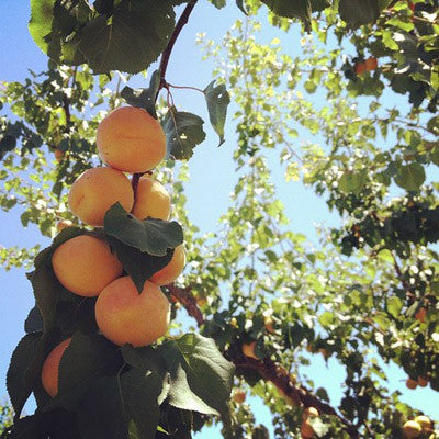 These are the blenheim apricots we use in our chutney growing on their tree in the Capay Valley.