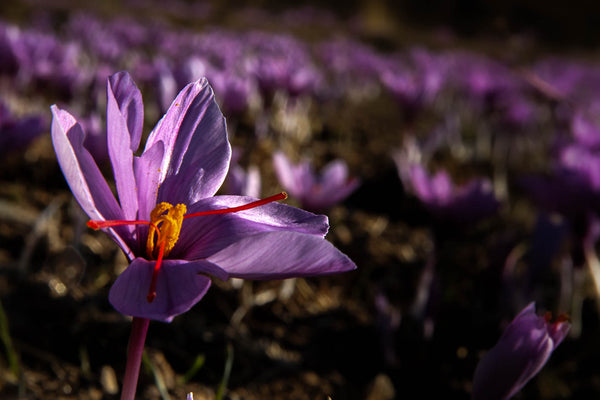 The Wonder & Tradition of Iranian Saffron