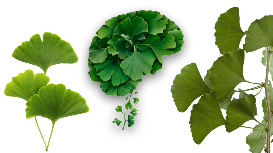 Ginkgo Biloba and Brain Health