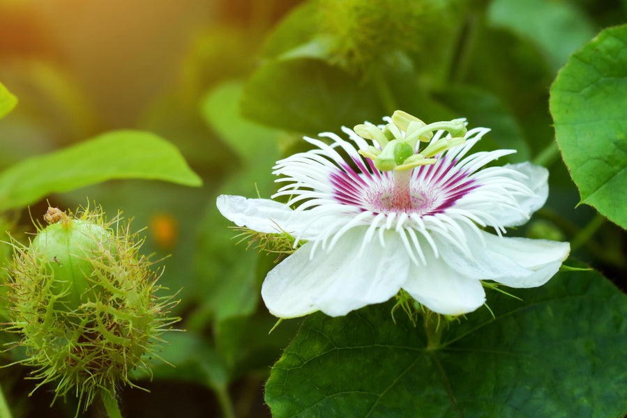 Passionflower And Brain Health Benefits