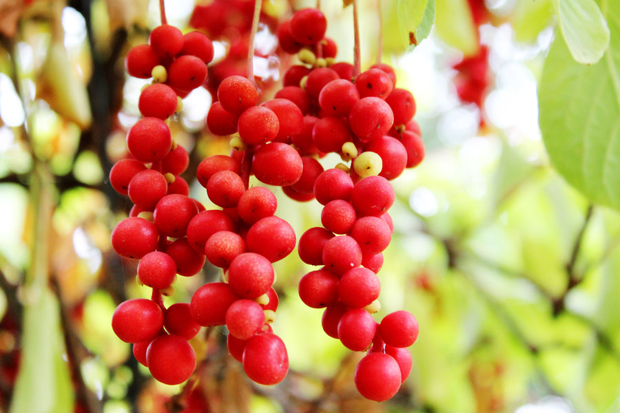 Schisandra Tea Benefits