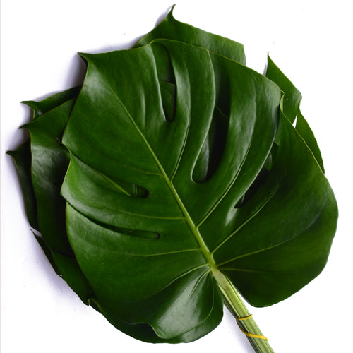 Monstera Leaves, 3 Sizes Available