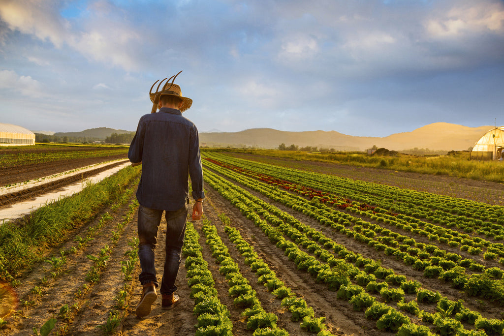 man walking through fields. organic farming