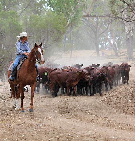 cleaver's farmer herding cattle on horseback