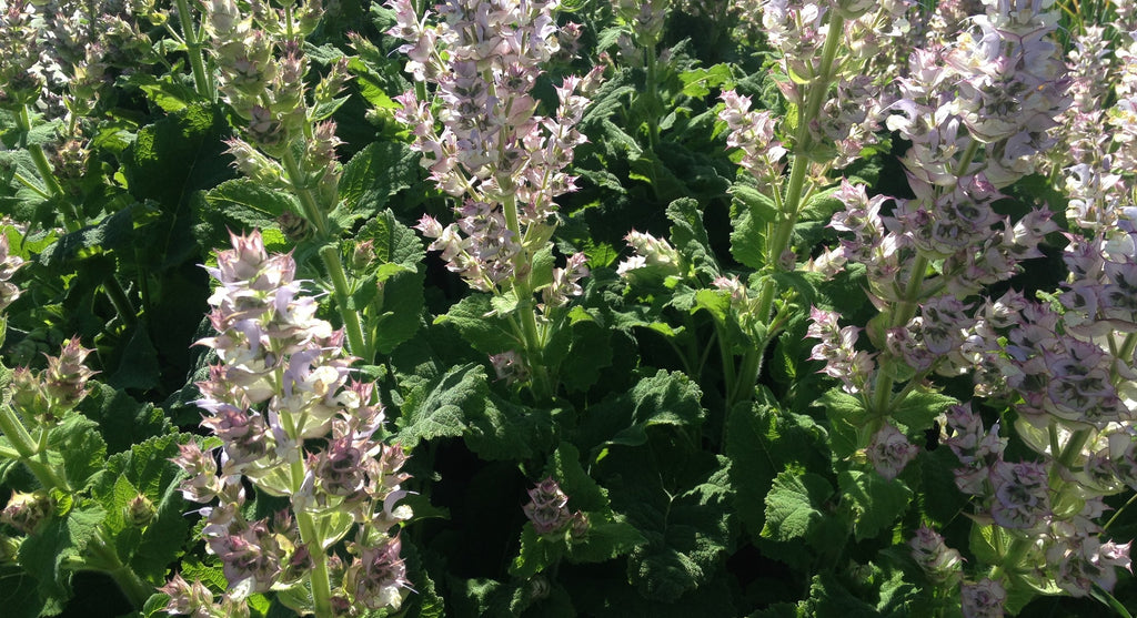 Cosy Cottage Clary Sage