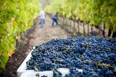 Grapes in wine farm picking
