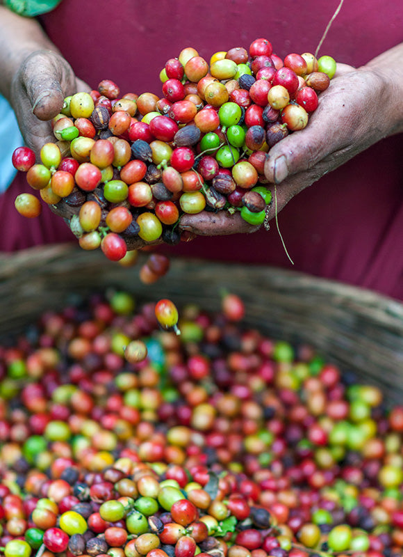 Discovering Arabica And Robusta Species Of Coffee