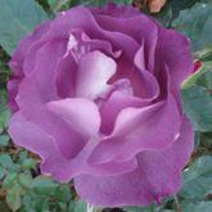 Blue For You - Bush Rose
