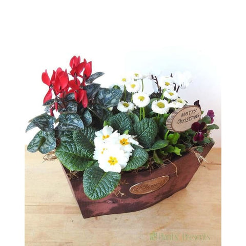 Festive Planter - Indoor Plants