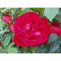 Illusion Climber Rose