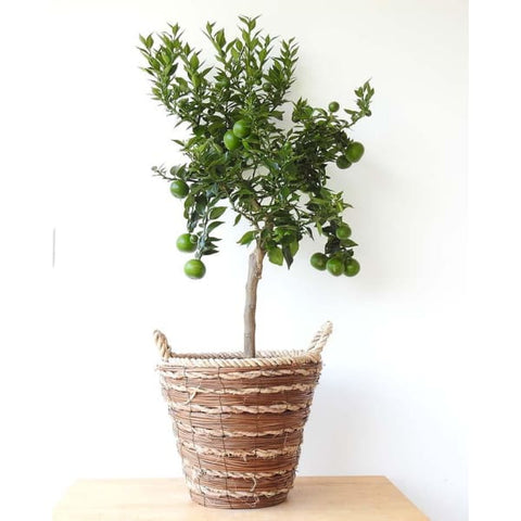 Large Chinotto - Plant Gifts