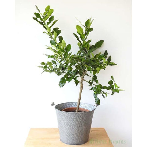 Large Kaffir Lime - Indoor Plants