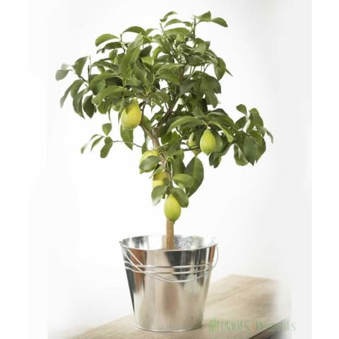 Large Lemon Tree - Indoor Plants