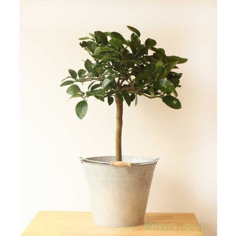 Large Lime Tree - Indoor Plants
