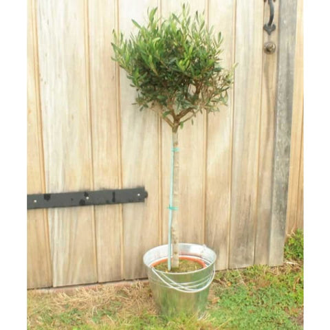 Large Olive Tree - Garden Plants