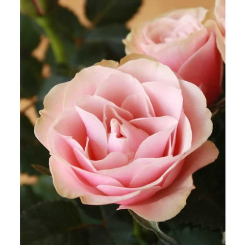 Large Pot of Pink Roses - Plant Gifts