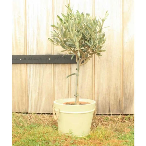 Olive Tree - Plant Gifts