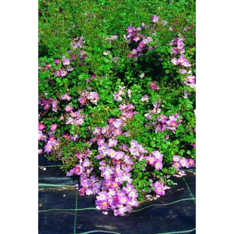 Scented Carpet - Ground Cover Rose - Roses