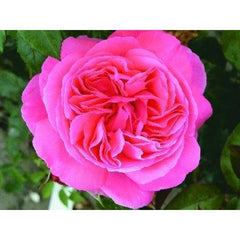 Special Anniversary Bush Rose