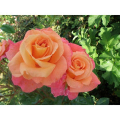 Sunrise Climber Rose