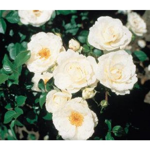 White Cloud Climber Rose - Garden Plants
