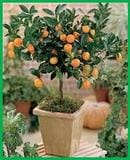 Giant Calamondin