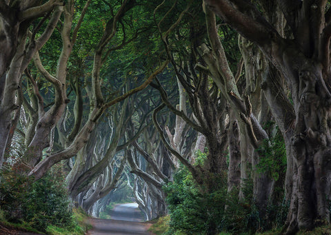 Dark Hedges Tree Lined Lane County Antrim