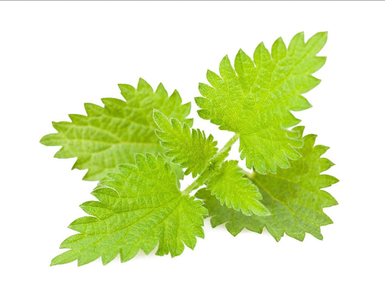The Anti-inflammatory Stinging Nettle for your scalp