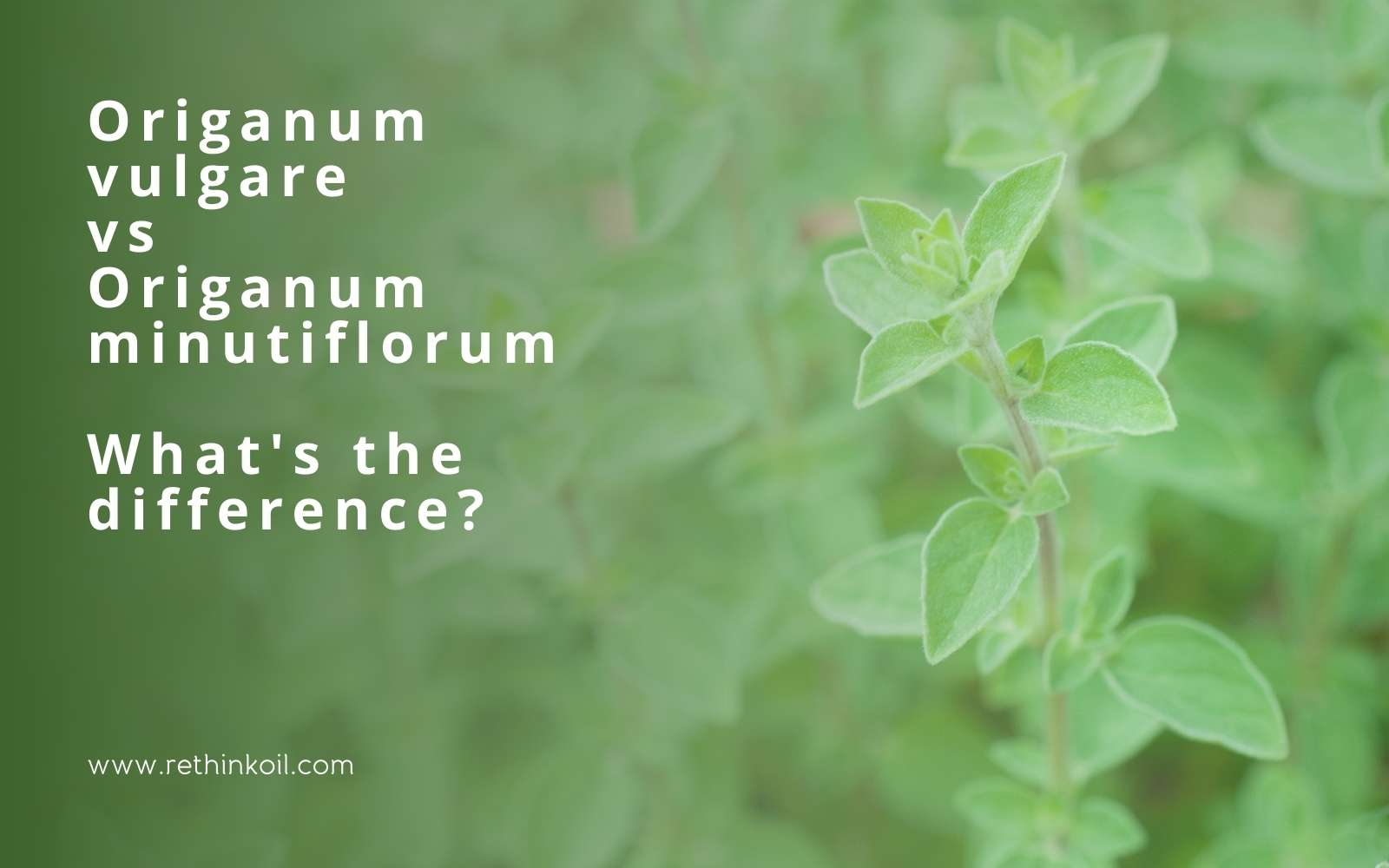 ReThinkOil Origanum vulgare vs Origanum minutiflorum What's the Difference? Blog Post