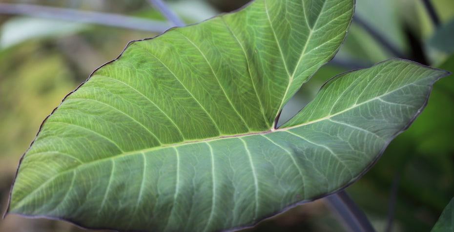 Arrowhead Plant (Syngonium podophyllum) Care Guide - Tips for Optimal Growth