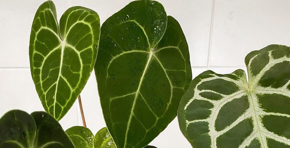 Anthurium Care Guide - Tips & Mistakes to Avoid