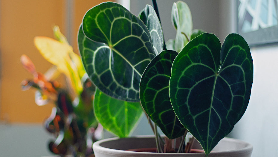 Anthurium Clarinervium 101 - Complete Care Guide