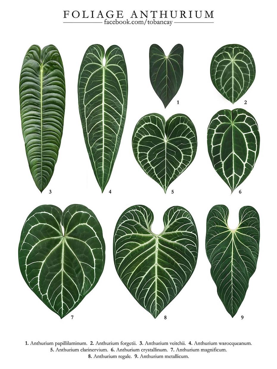 Foliage Anthurium