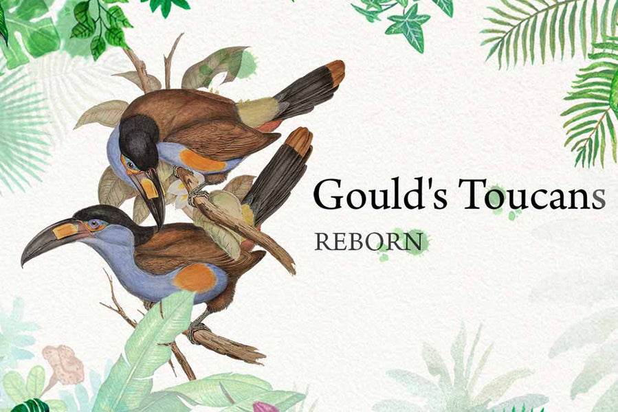 John Gould's family of toucans in video