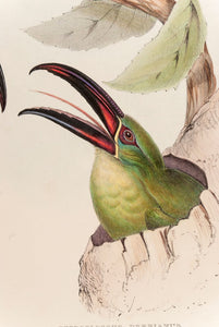 Earl of Derby's Groove-bill Aracari