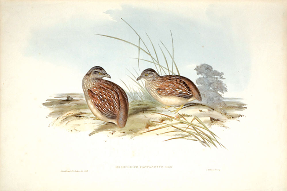 Chestnut-backed Hemipode